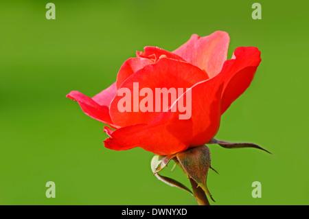 Rose (Rosa spec.) - Stock Photo