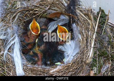 4 day old nestlings of the Black Redstart ( Phoenicurus ochruros ) in the nest. - Stock Photo