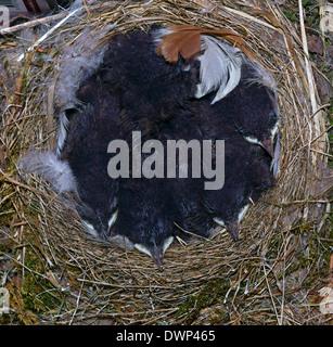 8 day old nestlings of the Black Redstart ( Phoenicurus ochruros ) in the nest. - Stock Photo