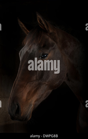 Bay horse black background Selle Francais x cross tb thoroughbred horse equine equestrain - Stock Photo