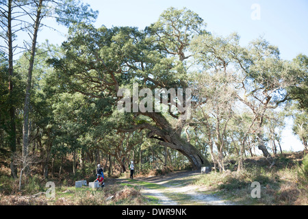Near the 'courant d'Huchet', a huge four hundred-years old cork tree (Quercus suber). Landes - France. Très vieux - Stock Photo