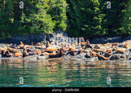 Stellar sea lion colony on shore in the Pacific Northwest. - Stock Photo