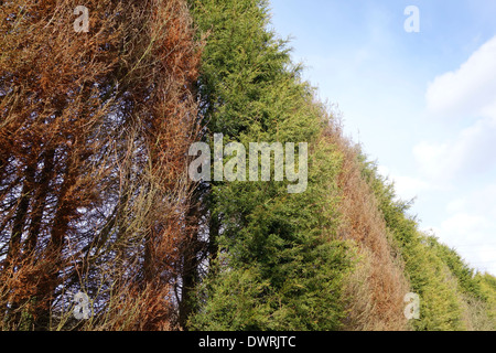 Phytophthora Tree Disease in a Line of Conifers, UK - Stock Photo