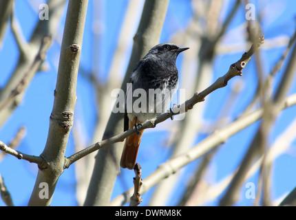 Male Black Redstart (Phoenicurus ochruros) posing in a tree - Stock Photo