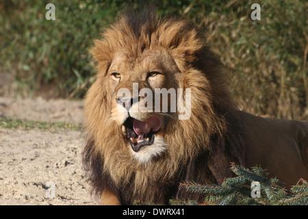 Close-up a mature lion (Panthera leo) - Stock Photo