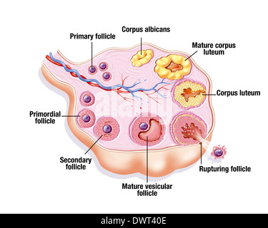Ovarian cycle, drawing - Stock Photo