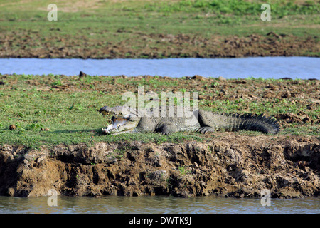 Huge crocodile basking in the sun next to waterhole in Udawalawe national park - Stock Photo