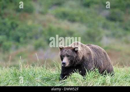 Grizzly bear (Ursus arctos horribilis) walking in high grass. - Stock Photo