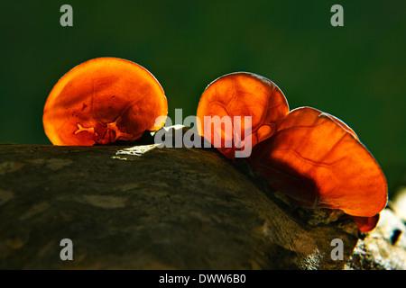 Auricularia, auricula-judae, Jews ear,wood ear or jelly ear fungi - Stock Photo