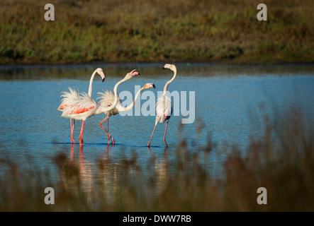 lesser, flamingos,Phoenicopterus minor on an estuary in Portugal - Stock Photo