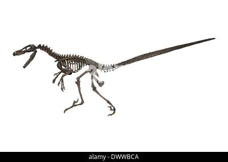 Velociraptor mongoliensis Skeleton Model - Stock Photo