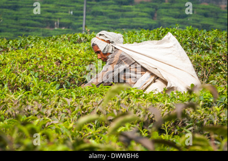 South Southern India Kerala Munnar agriculture farming farm tea plantation estate old elderly lady woman female - Stock Photo