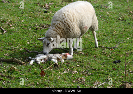 Female sheep ewe standing by her dead baby lamb uk - Stock Photo