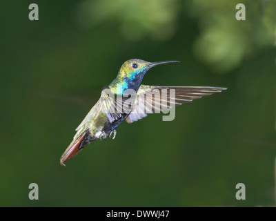 Black-throated Mango hummingbird in Tobago, Anthracothorax nigricollis - Stock Photo