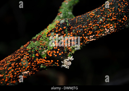 Coral spot fungus (Nectria cinnabarina) growing on a dead branch at Aysgarth in the Yorkshire Dales National Park. - Stock Photo