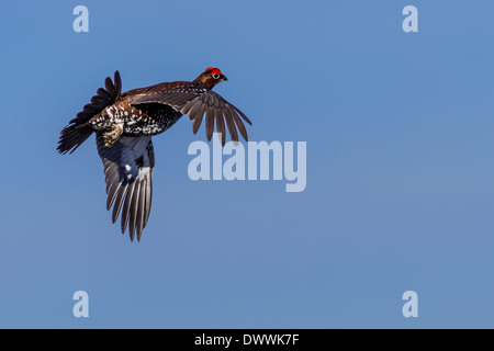 Wildlife: Red grouse (lagopus lagopus) flying after taking off, England, UK