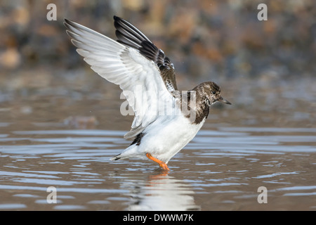 a winter plumage Turnstone/ Ruddy Turnstone stretching its wings after washing - Stock Photo