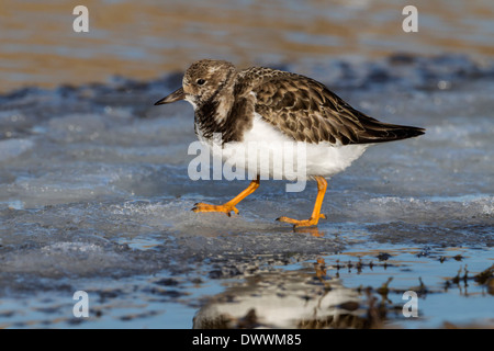 a winter plumage Turnstone/ Ruddy Turnstone walking on an icy pool - Stock Photo