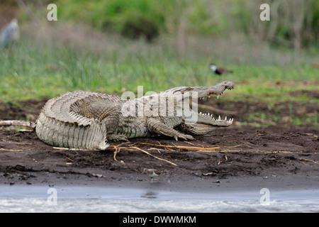 Nile crocodile Crocodylus niloticus, Crocodylidae, Chawo Lake, Nechisar National Park, Arna Minch, Ethiopia, Africa - Stock Photo