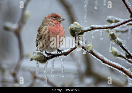 Male House Finch Perched On Ice Encrusted Branch Of Star Magnolia Tree in Floyd County Indiana - Stock Photo