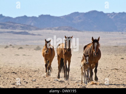 Family group of Wild Horses, with foal, coming in to drink at the only waterhole  - Stock Photo