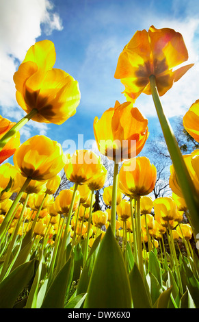 'Beauty of parade' tulips at the Royal Botanical Garden. Madrid. Spain - Stock Photo