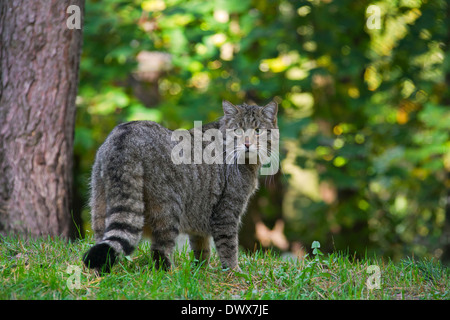 European wildcat (Felis silvestris silvestris) in forest - Stock Photo