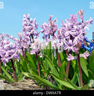 Bulb fields in spring: Low angle view of lilac hyacinths, Wassenaar, South Holland, The Netherlands. - Stock Photo