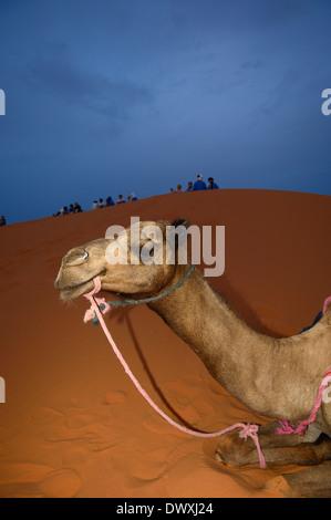 Resting camel. Erg Chebbi. Saharan Desert. Merzouga. Morocco - Stock Photo