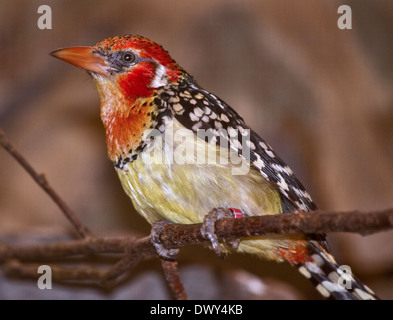 Red and Yellow Barbet (trachyphonus erythrocephalus) male - Stock Photo