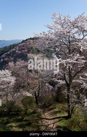 Cherry blossoms on Mt Yoshino, Nara Prefecture, Japan - Stock Photo