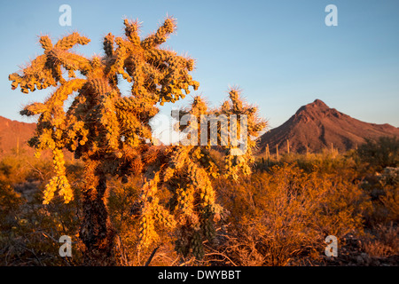 Cylindropuntia fulgida, jumping cholla, is a cactus that is native to the Southwestern US and Sonora, Mexico - Stock Photo