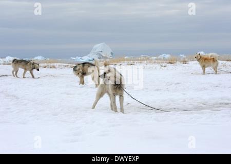Ilulissat, Denmark, Huskies are chained in the snow - Stock Photo