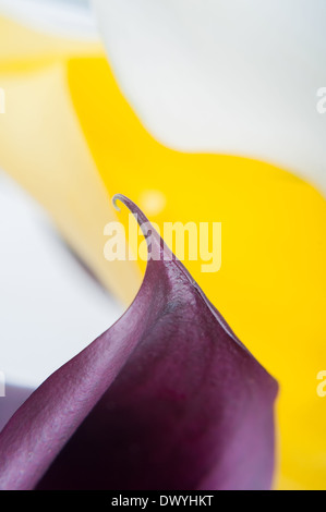 Macro shot of two callas - Stock Photo
