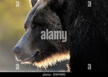 Grizzly bear (Ursus arctos horribilis) portrait with back light.
