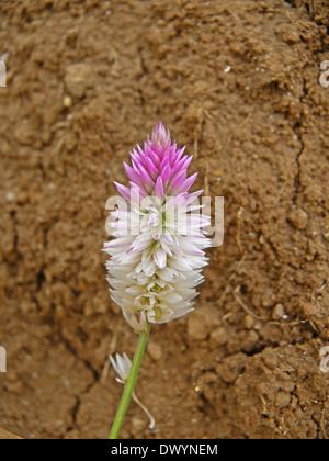 Celosia Argentea, Kurdu, Amaranthaceae, A widespread weed - Stock Photo