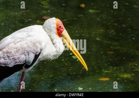 Milky Stork in the Kuala Lumpur Bird Park - Stock Photo