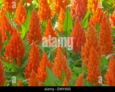 Celosia, Plumosa, Plumed Cockscomb, Celosia argentea var. plumosa - Stock Photo