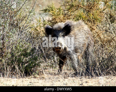 Close-up of a mature  Wild Boar (Sus Scrofa) encountered in the wild  in Southern Spain - Stock Photo
