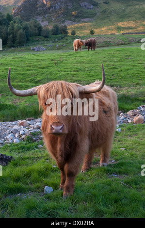 Highland cattle in a field on the shores of Buttermere, Lake District, England late on a summer afternoon - Stock Photo