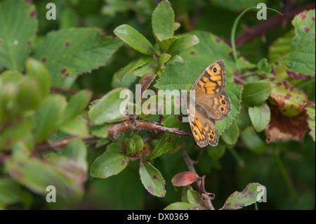 Speckled Wood Butterfly in a Cumbrian wood - Stock Photo