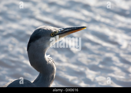 Close up shot of a Grey Heron - Stock Photo