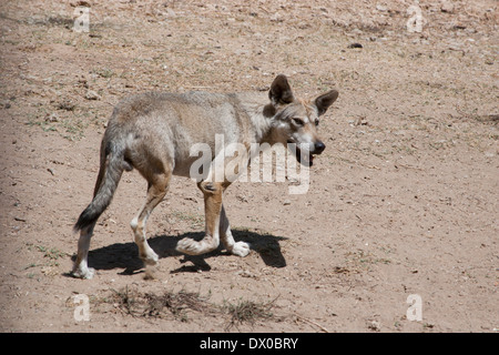 Gray Wolf (facts) Canis lupus