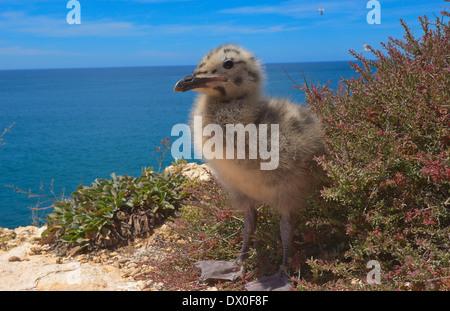 Yellow-legged Gull - Stock Photo