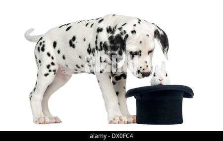 Dalmatian puppy looking at a rabbit in black top hat in front of white background - Stock Photo