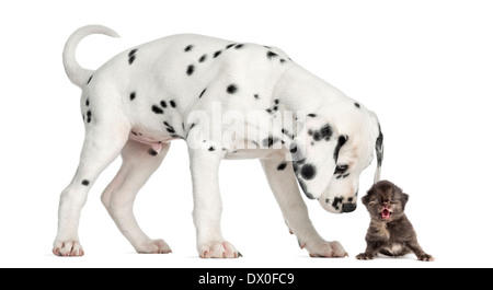 Side view of a Dalmatian puppy sniffing a kitten meowing in front of white background - Stock Photo