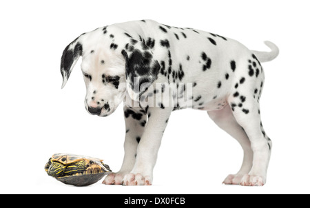 Dalmatian puppy, looking down at a turtle on its back in front of white background - Stock Photo