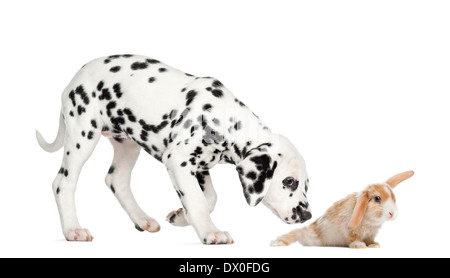 Side view of a Dalmatian puppy sniffing a rabbit in front of white background - Stock Photo