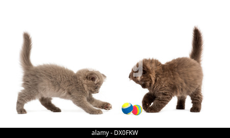 Highland fold kittens playing together with balls in front of white background - Stock Photo