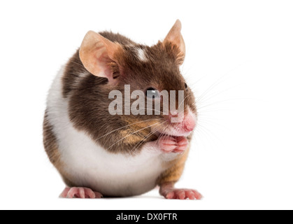 Common house mouse, Mus musculus, in front of white background